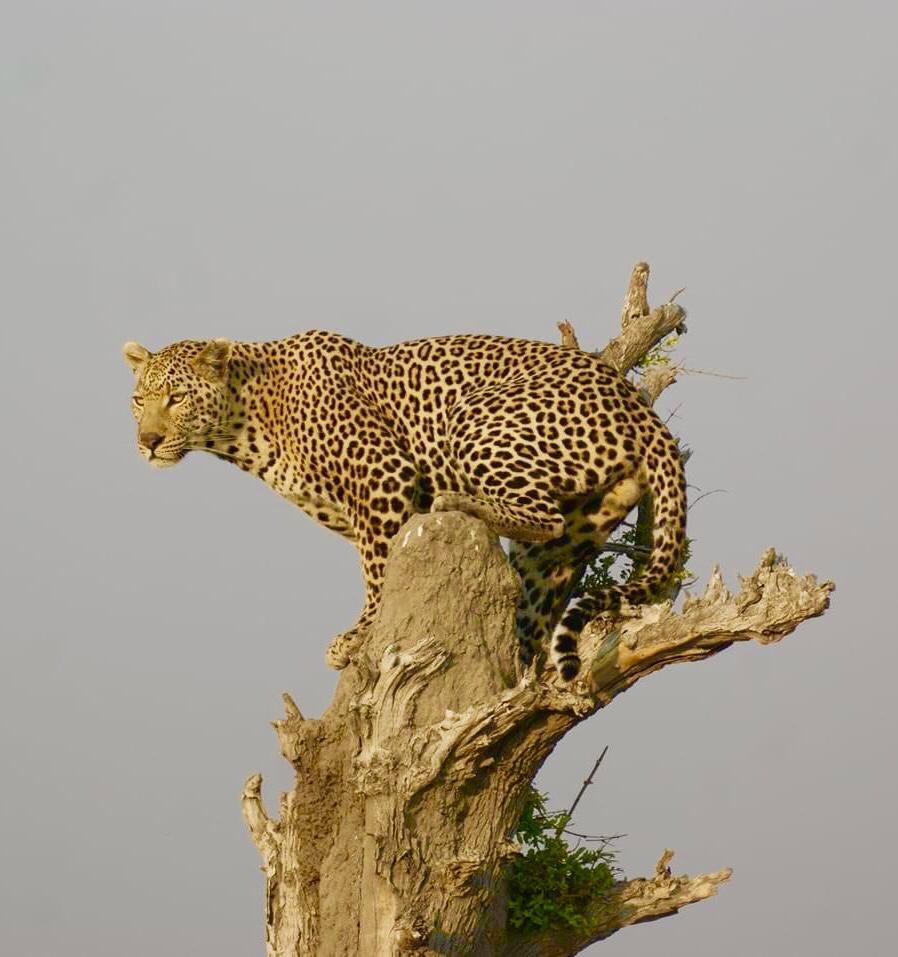 Leopard Unfold Africa Safaris