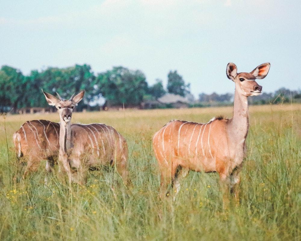 Kudu Unfold Africa Safaris