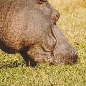 Hippo Unfold Africa Safaris