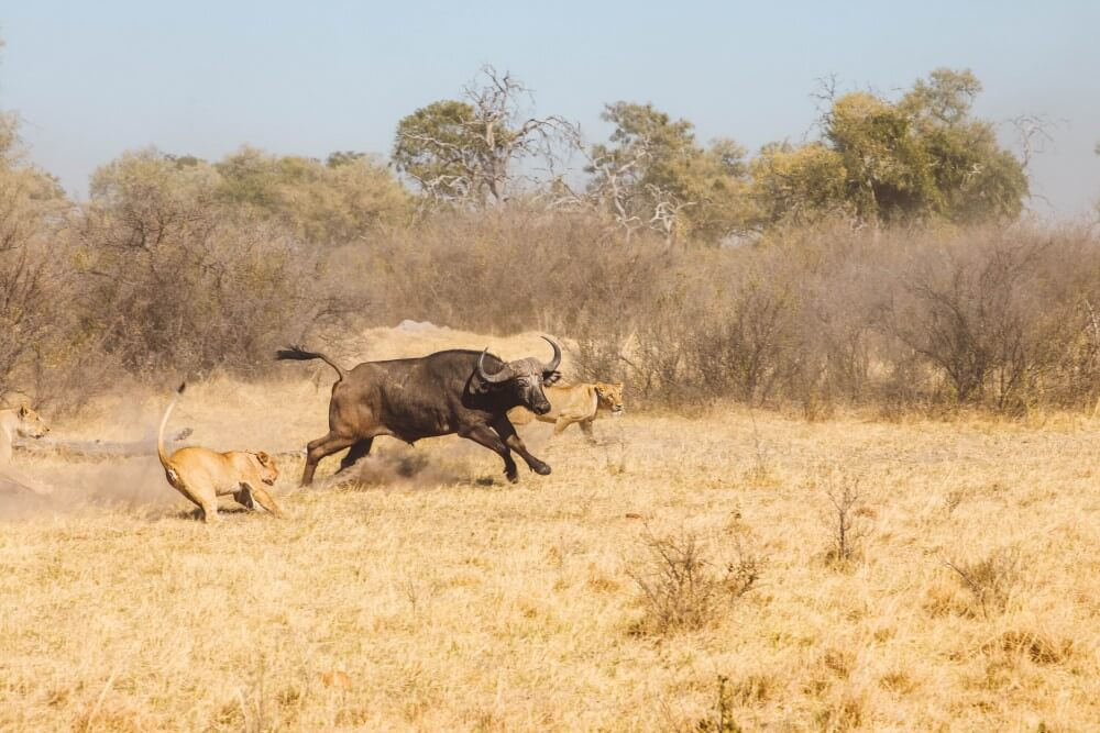 Lions hunting Unfold Africa Safaris