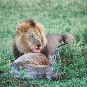 Lion kill Unfold Africa Safaris