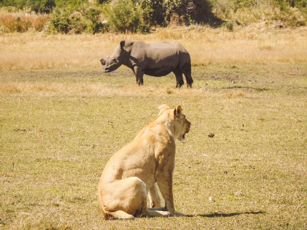 Lion and rhino Unfold Africa Safaris