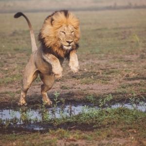 Lion Unfold Africa Safaris