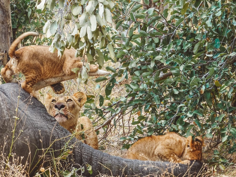 Lion Pride Unfold Africa Safaris