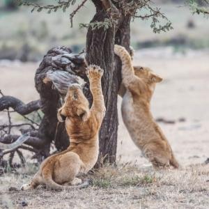 Lion cubs Unfold Africa Safaris