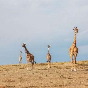 Giraffe Unfold Africa Safaris